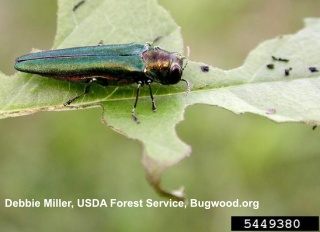 Click to learn more about emerald ash borer