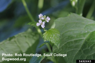 Image of Garlic Mustard click for more images
