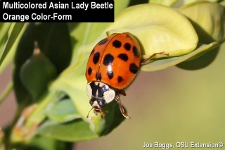 Click here to learn more about the multicolored asian lady beetle