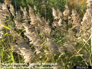 phragmites reed grass, click to learn more