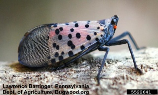 click to learn more about the spotted lanternfly