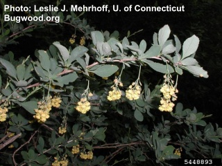 Image of Common Barberry click for more images