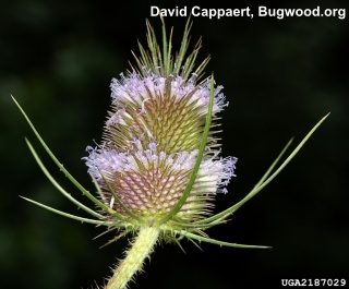 image of common teasel click for more information