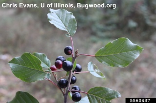 Image of glossy buckthorn plant, click for more information