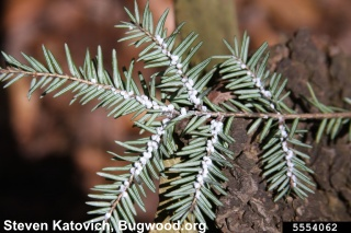 click here to learn more about hemlock woolly adelgid