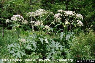 image of giant hogweed, click to learn more