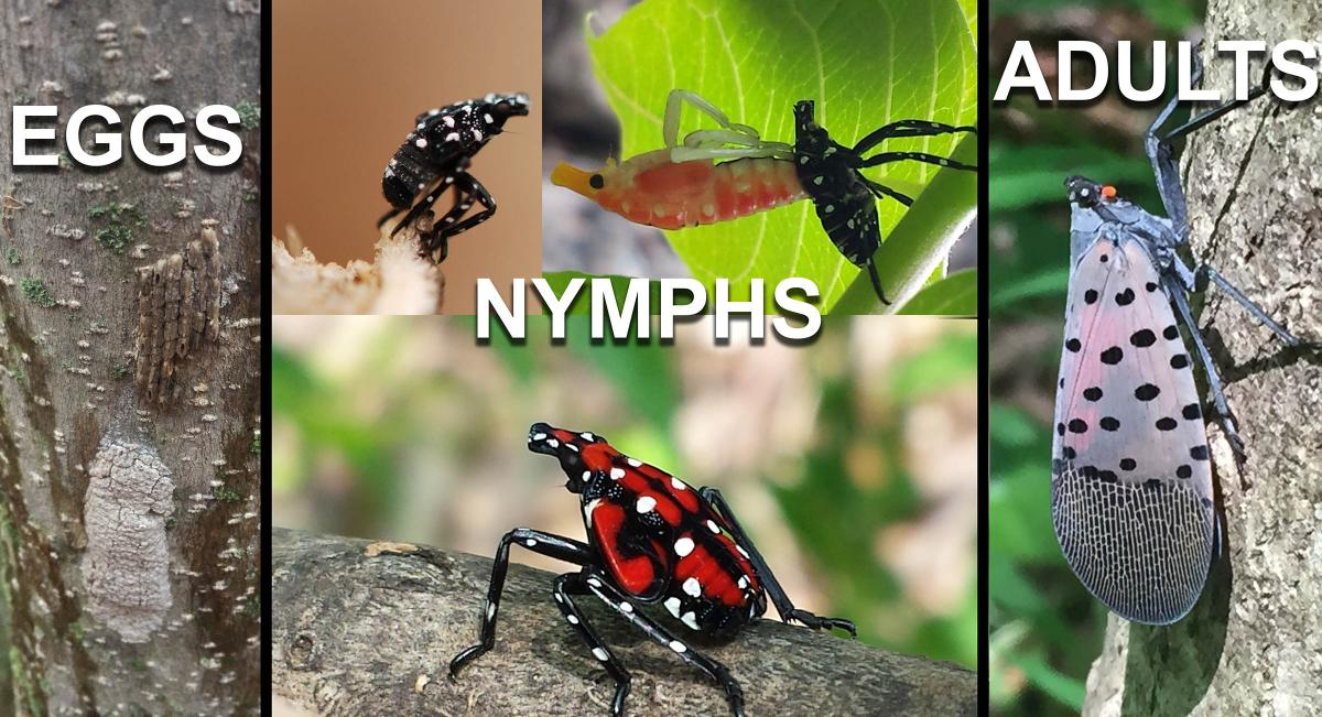 Image shows eggs, nymphal stages, and adult of the Spotted Lanternfly, Lycorma delicatula.