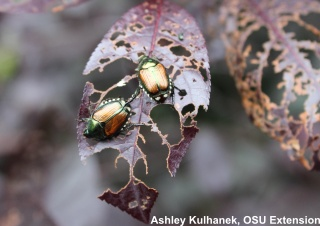 click to learn more about japanese beetles