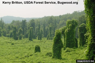 kudzu overtaking a forest, click to learn more about kudzu