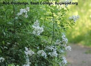 multiflora rose, to learn more click here
