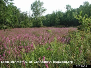 image of purple loosestrife invading a wetland area, to learn more click here