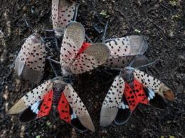 image of spotted lanternfly adults